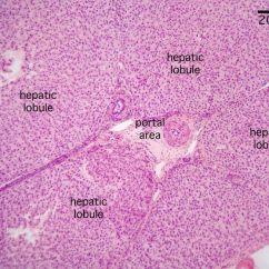 Bone Cell Diagram Labeled 2002 Nissan Sentra Se R Spec V Radio Wiring Liver Histology - Portal Triad   Pinterest Labs And