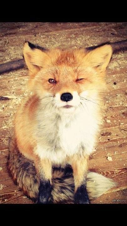 winking fox. oh. em. gee. i almost cannot handle the cuteness here….arghhh!