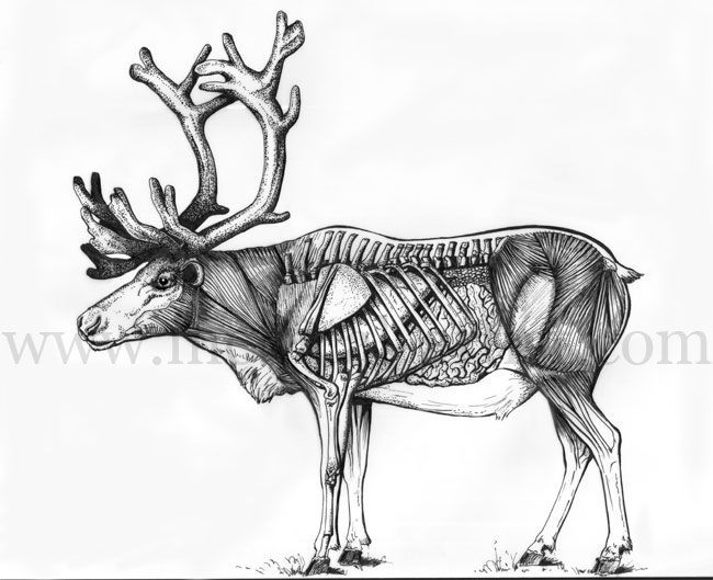 127 best images about ANIMAL SCIENTIFIC ILLUSTRATION on