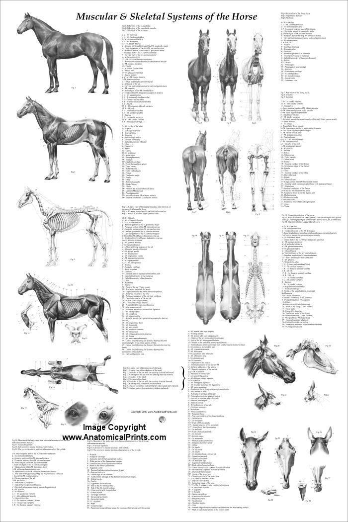 47 best images about Equine Teaching Tools--Anatomy on
