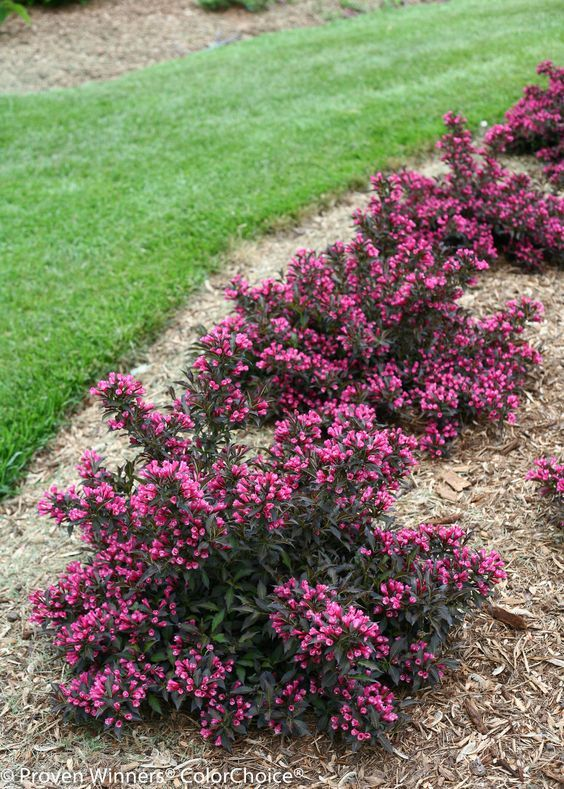 25 Best Ideas About Garden Shrubs On Pinterest Shrubs Bushes