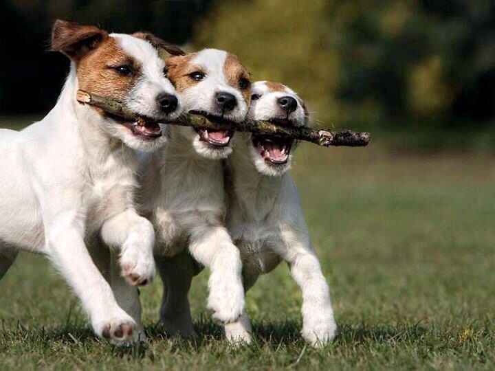 Jack Russell Terrier Cute Puppies Wallpaper Teamwork Jack Russell Puppies The Other Friends