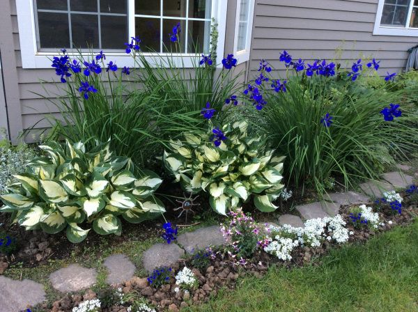 siberian iris in bloom with hosta