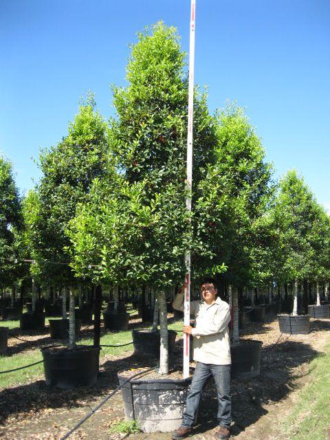 Savannah Holly Tree Form  100 Gallon  Garden  Pinterest  Trees Savannah and Holly tree