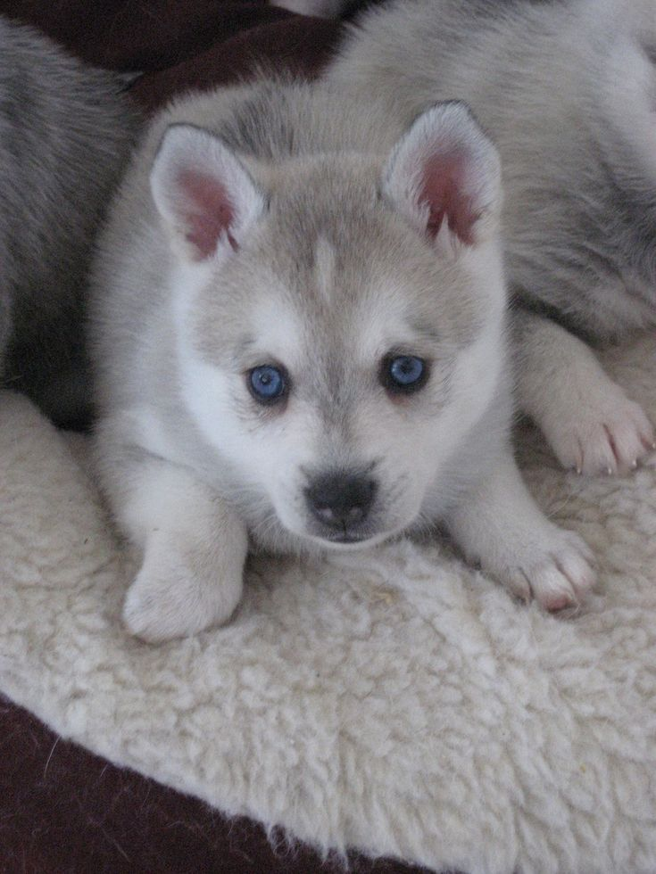 Cute Husky Puppies With Blue Eyes Wallpaper 42 Best Images About Alaskan Klee Kai On Pinterest