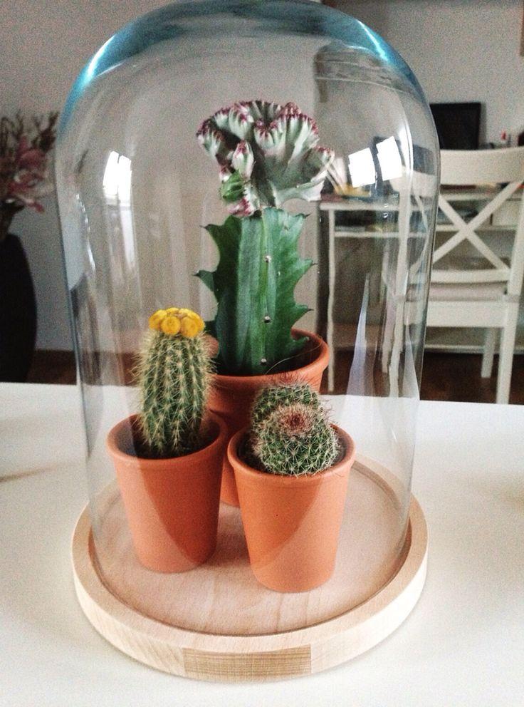 Cactus in een stolp