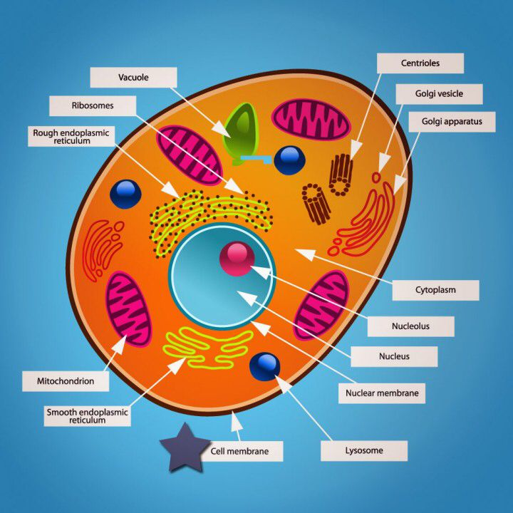 Cell Picture Animal Cell Model Diagram Project Parts Structure Labeled