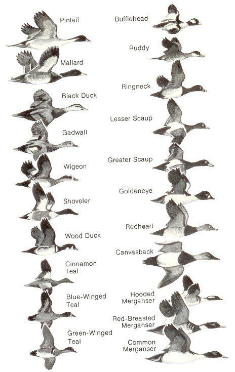 Huntin4Biggins: Duck Identification Chart