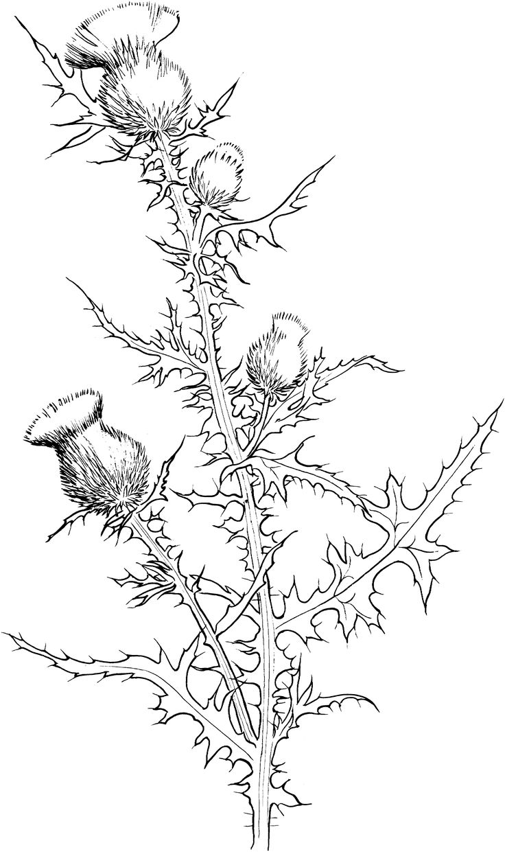 cirsium-vulgare-or-bull-thistle-coloring-page.gif (3151