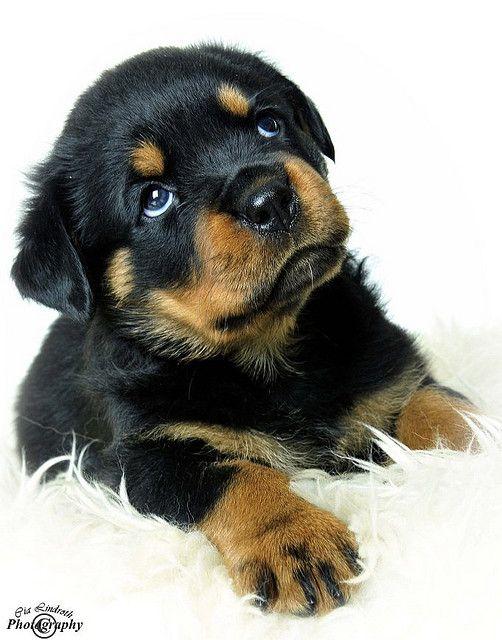 Rottweiler Fall Wallpaper 25 Best Rottweiler Puppies Ideas On Pinterest Baby