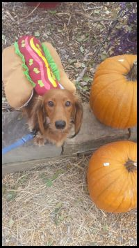 17 Best images about Halloween Dachshund Dogs on Pinterest ...