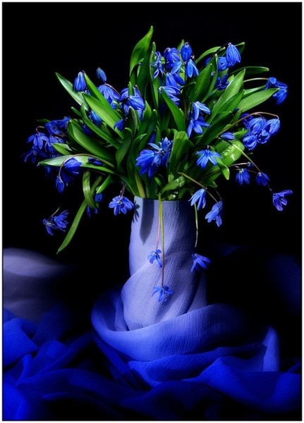1123 Best Images About Blue Flowers On Pinterest Bearded