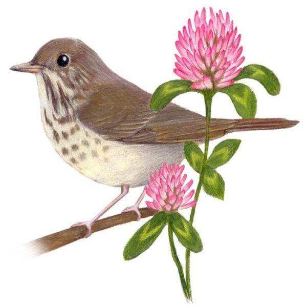 vermont state bird and flower