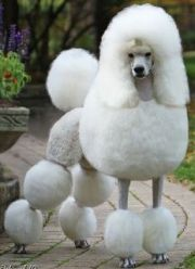 ideas poodle haircut