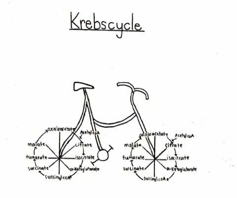 17 Best images about The Krebs Cycle on Pinterest