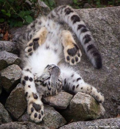 Image result for cubs baby snow leopard