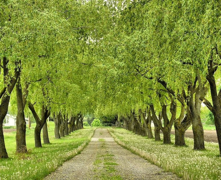 17 Best Ideas About Tree Lined Driveway On Pinterest