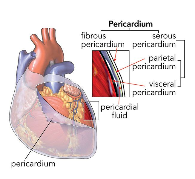 healthy heart diagram gm radio wiring the pericardium is a double-walled sac that encloses heart. between visceral and ...