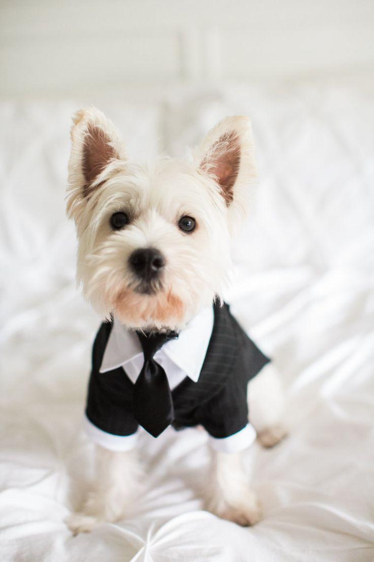 1000+ ideas about Dog Tuxedo on Pinterest