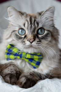 17 Best images about Cats in bowties on Pinterest | Bow ...