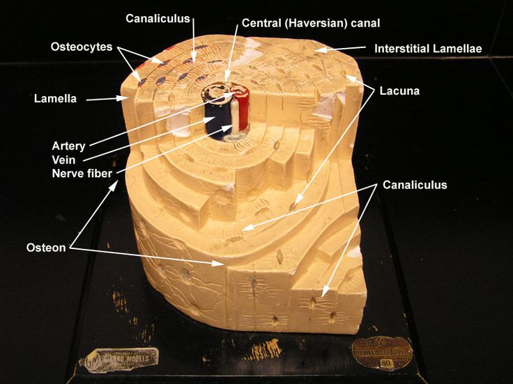 labeled diagram of the hand tekonsha prodigy p2 wiring bone model   with labels : nursing pinterest models, search and ...