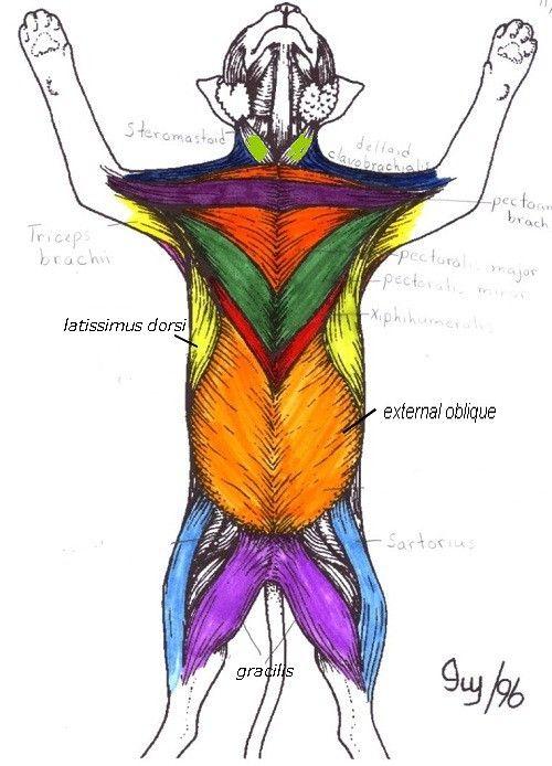shark anatomy diagram boat nav light wiring muscles , 5 cat muscle : ventral region key | nursing school ...