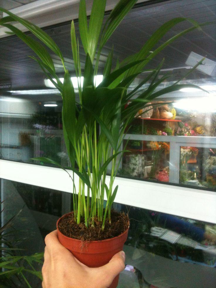 how to trim a palm tree plant
