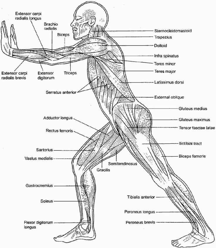 25+ best ideas about Skeletal And Muscular System on
