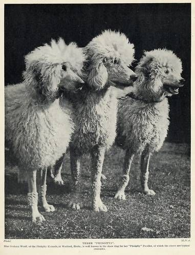 97 Best Images About Vintage Poodle On Pinterest Pull