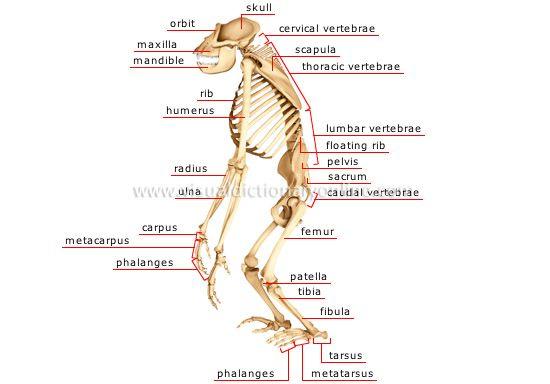 chimpanzee skull diagram three phase wiring diagrams skeleton of a gorilla image | pinterest skeletons