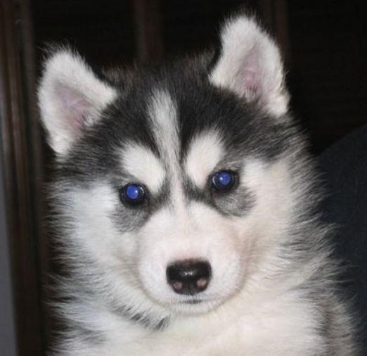 alaskan husky puppies Black white alaskan husky puppy