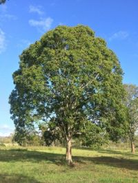 17 Best images about Australian Native Trees on Pinterest ...