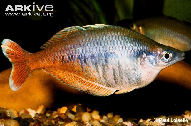 Australian Rainbow Fish Freshwater
