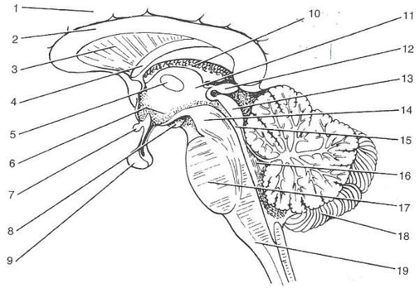 As 25 melhores ideias de Gross anatomy no Pinterest