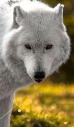 wolf wolves animals wild arctic animal cute husky pretty spirit eyes killing loyal hunde creatures den stop zeichnung dog baby