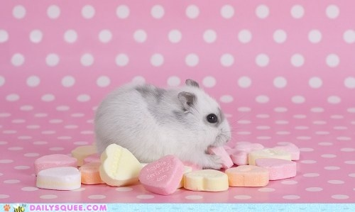 Cute Real Pigs Iphone Wallpaper 78 Best Images About A Hamster Buddy On Pinterest Guinea