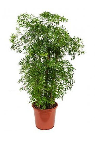 Aralia Ming  Polyscias  Kamerplanten  Pinterest  Plants