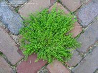 Rupturewort (Herniaria glabra) | My Garden | Pinterest