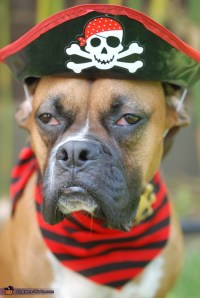 Dog dressed as a Pirate Costume | Halloween costume ...