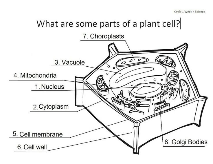17 Best ideas about Plant Cell Labeled on Pinterest