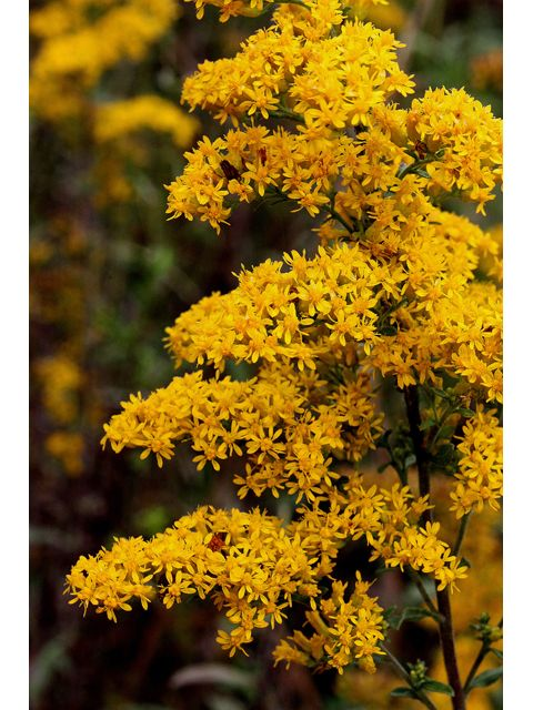 25 Best Images About Southern Illinois Wildflowers On