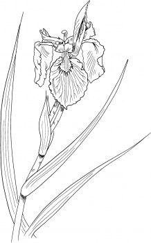 10+ images about line drawings of irises on Pinterest