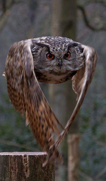 ... Hawk Owl: ... Hawk Owl