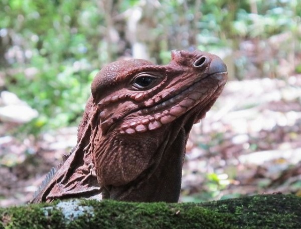 The endangered Mona Ground Iguana of Puerto Rico Dragons
