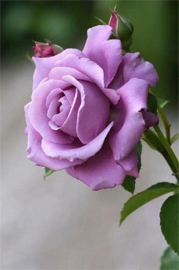 Le rose necessitano di un terreno fertile e ricco di sostanze organiche, per questo richiedono l'aggiunta di un fertilizzante specifico o di letame maturo