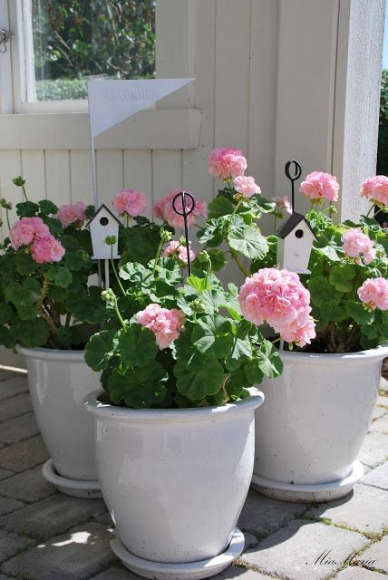 25 Best Ideas About Pink Geranium On Pinterest Container