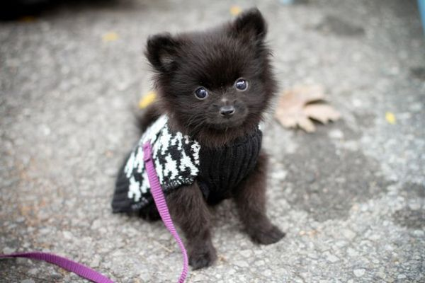 Baby Pomeranian! Aw  Perfect Puppies! Pinterest
