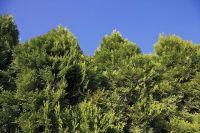 25+ best ideas about Arborvitae Tree on Pinterest | Thuja ...