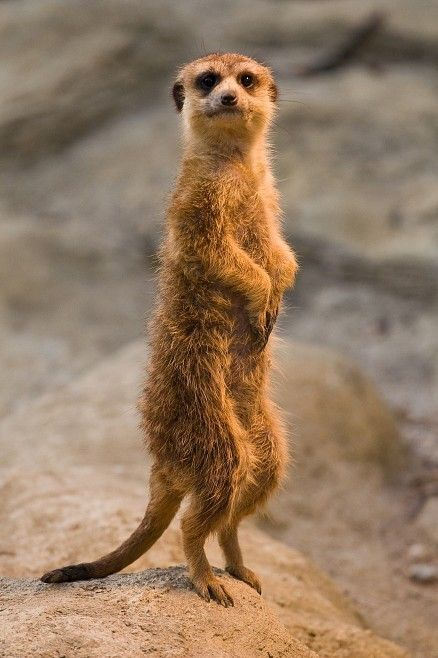 Meerkat Whats Up Out There Meerkats Pinterest