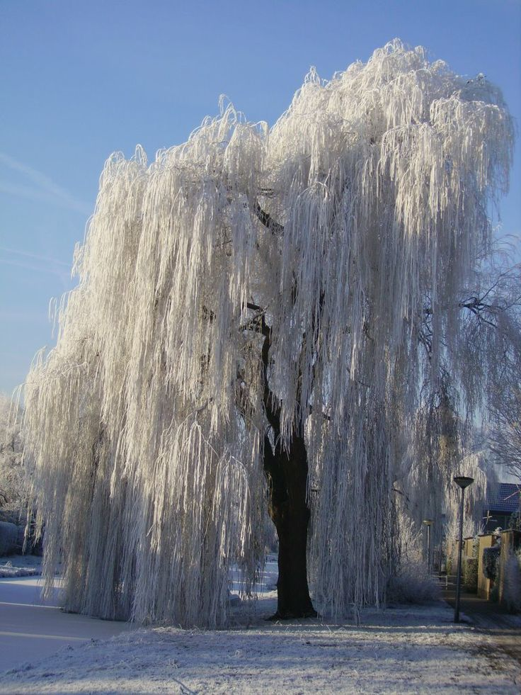 Fall Leaves Dancing Wallpaper 43 Best Images About Weeping Willow Trees On Pinterest